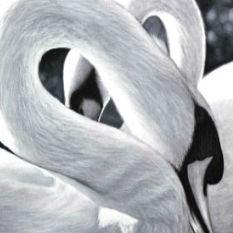 Swan Paintings 70cm x 70cm